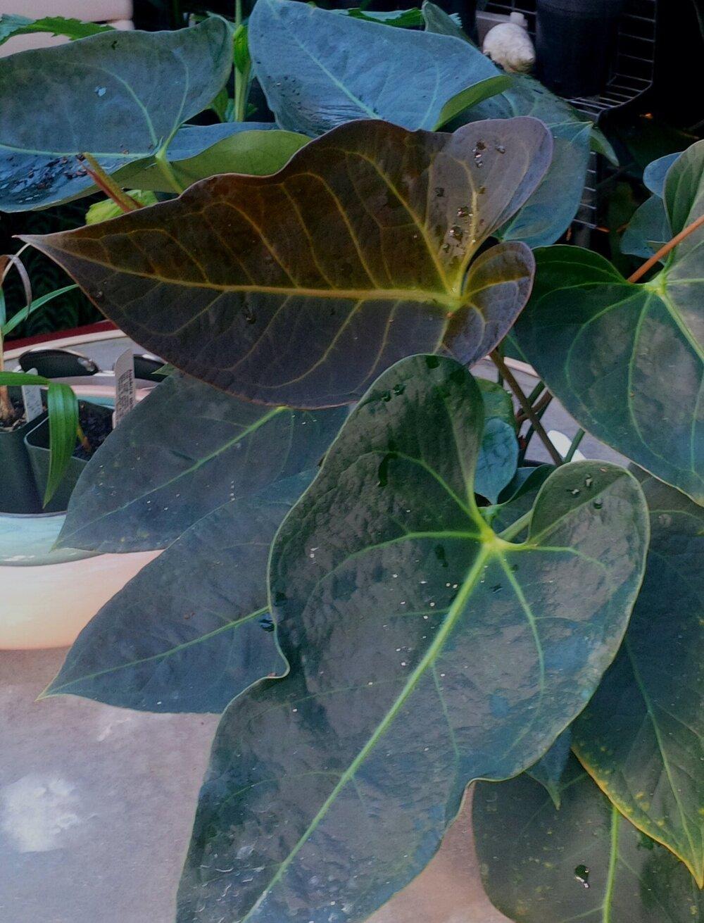 Anthurium clarinervium x seleri.jpg