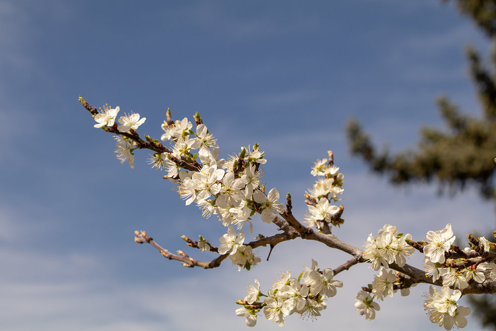 Plum Blossoms at Sunset Grove. April 2018.
