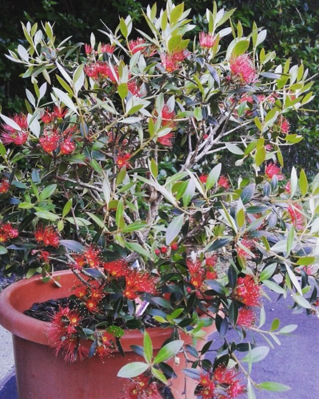 Is our miniature Southern Rata telling us that it's going to be a long hot summer??? Here's hoping 🌞🌞 #southernrata #summer #summerwedding #loveMarlborough #weddingcelebrant #weddingflowers #happy