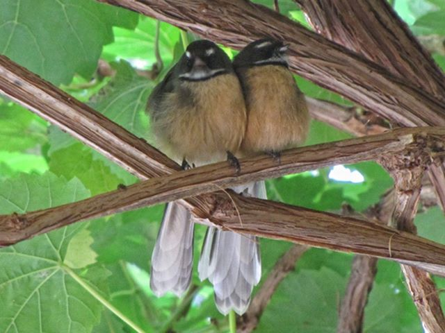 Fantail Love! Our adorable and somewhat cheeky friends love to hang with us! ❤  #wedding #love #marlboroughcelebrant #jacquileslie #nznativebirds #nature #fantail #loveMarlborough #newzealand
