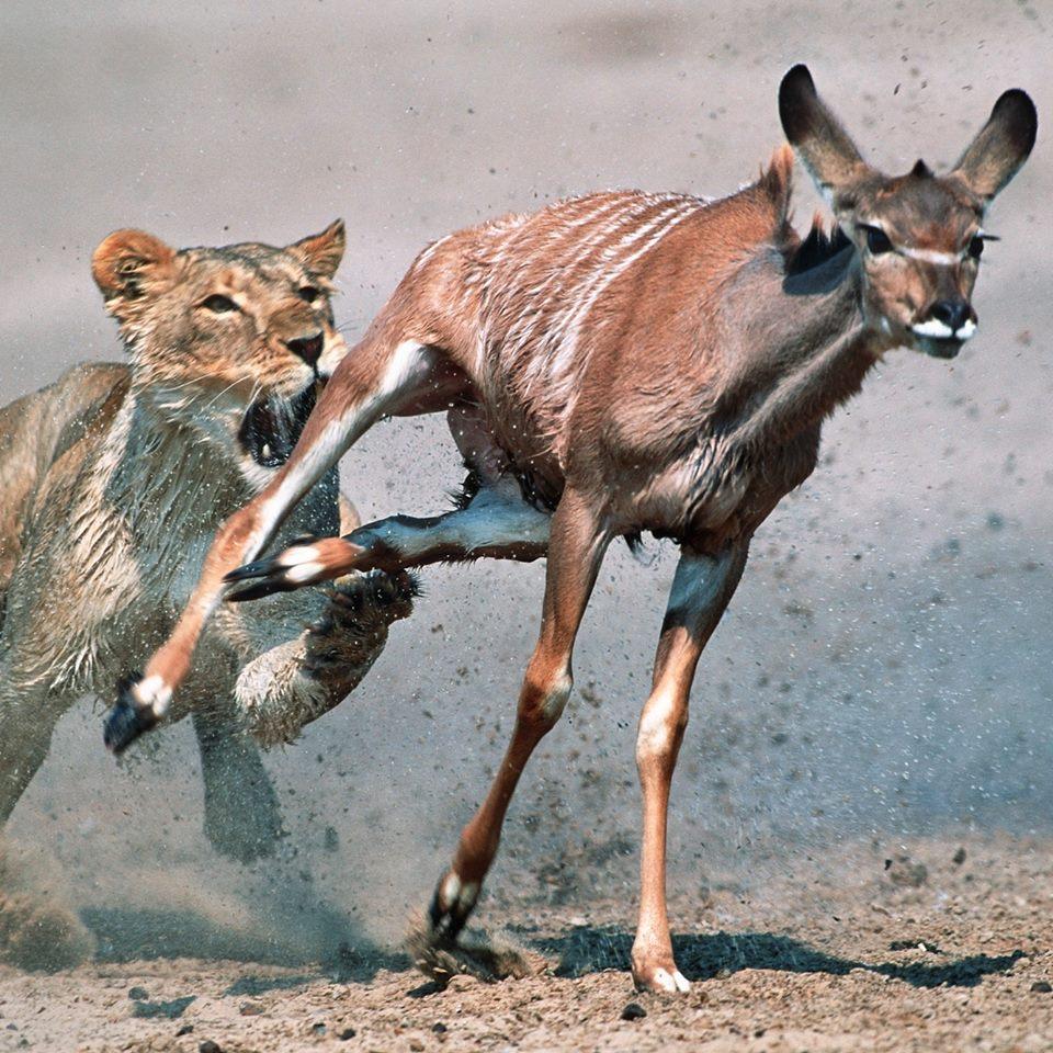 løve-antilope-nervesystemet