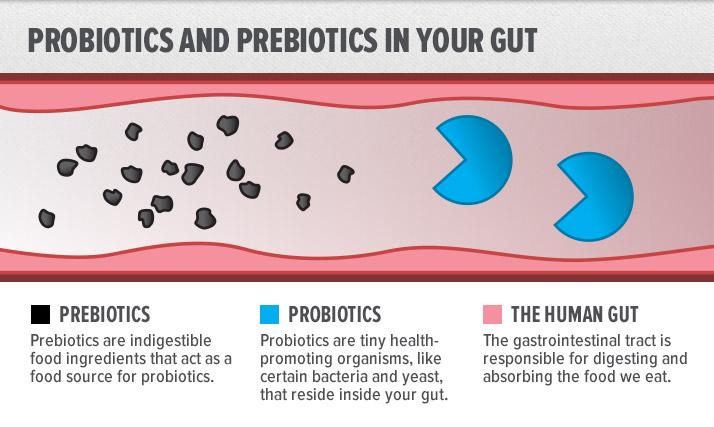"""De blå """"packman"""" figurene er de levende bakteriene i tarmen som spiser de sorte prikkene, prebiotika."""