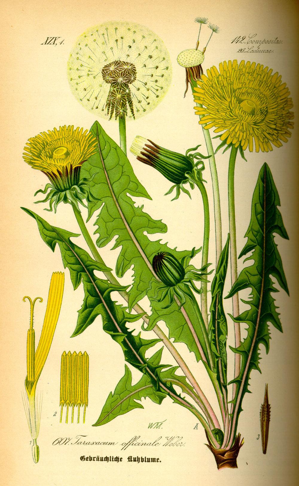 dandelion-botanical-illustration.jpg