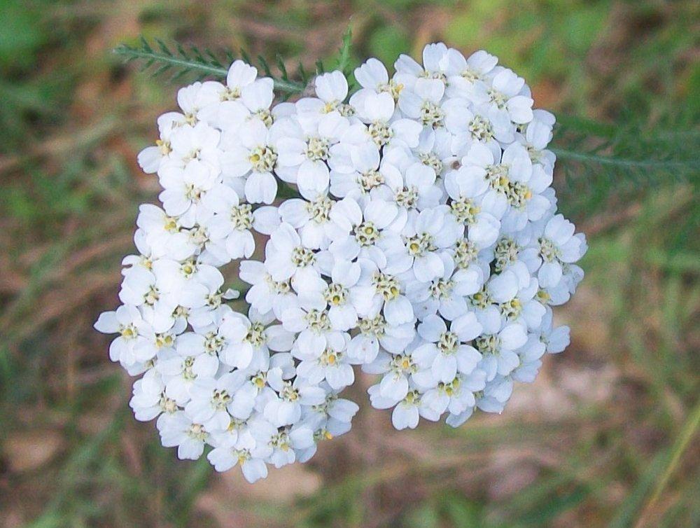 Yarrow_(Achillea_millefolium)_flowers.jpg