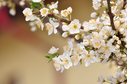 Spring-bloom-tree-7002.jpg