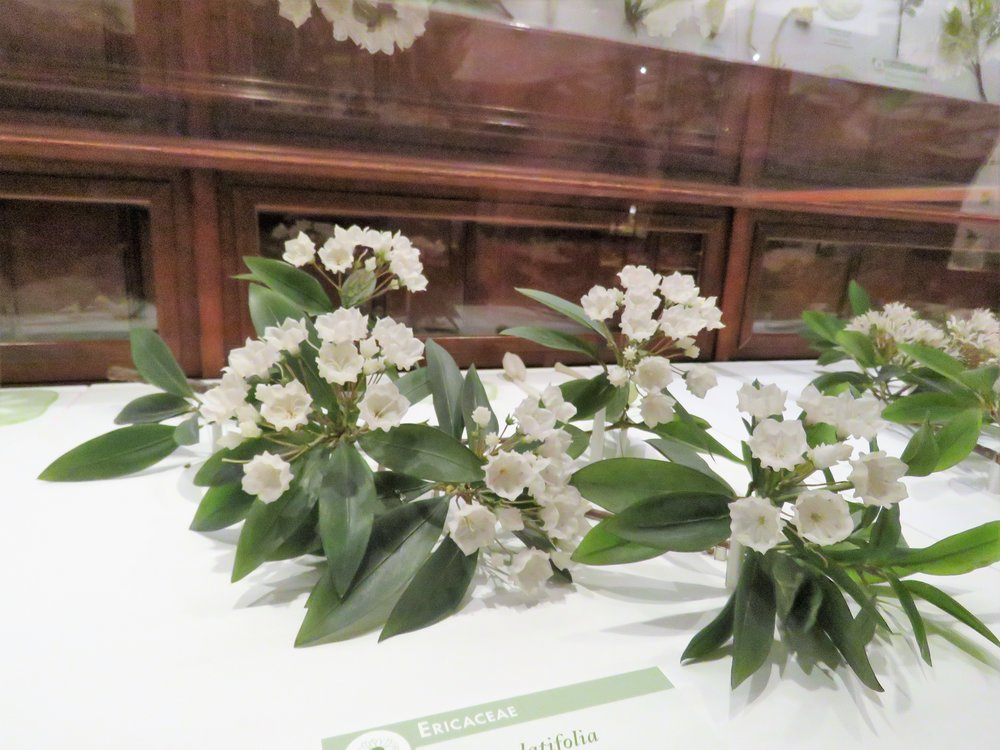 - Glass flowers in the Harvard Museum of Natural History.  Mountain Laurel and a beautiful example of artistic craftsmanship.