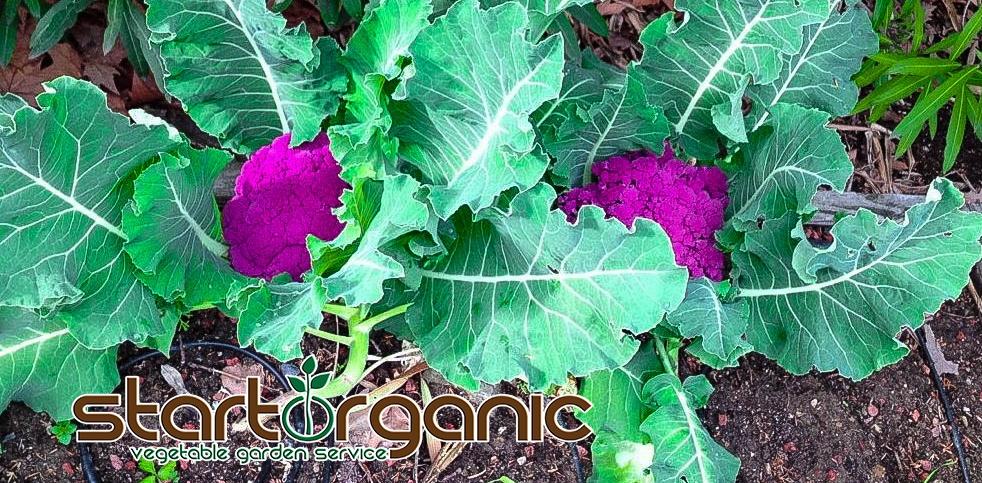 purple cauliflower.jpg