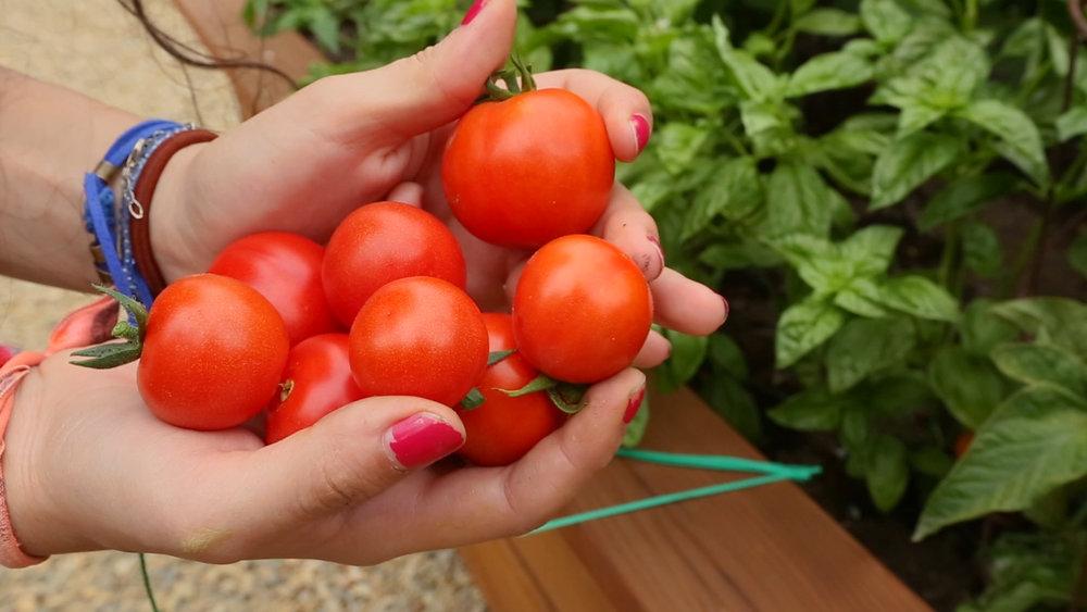 tomatoes mari .jpg