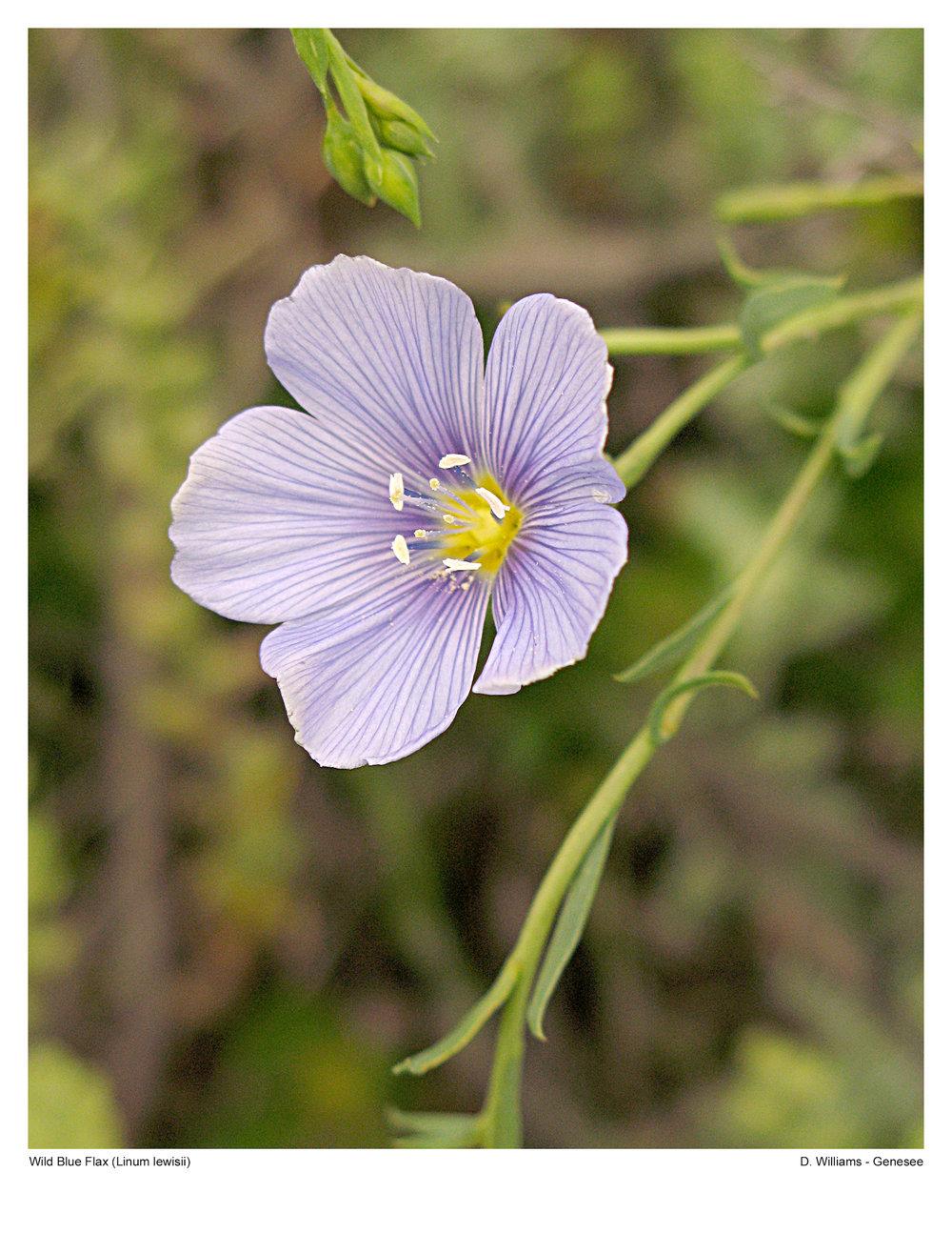 Blue Flax - Linum lewisii IMG_0611.jpg