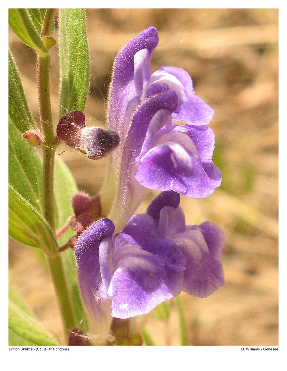 Britton Skullcap - Scutellaria brittonii IMG_0866.jpg