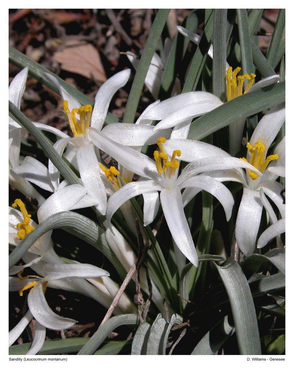 Sandlilly (Leucocrinum montanum)