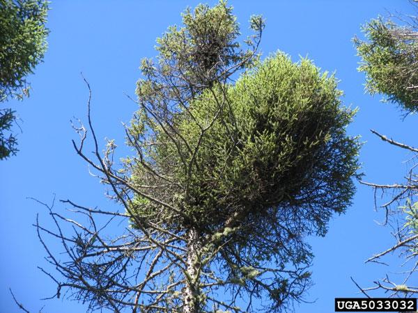 mistletoe1_600px.jpg