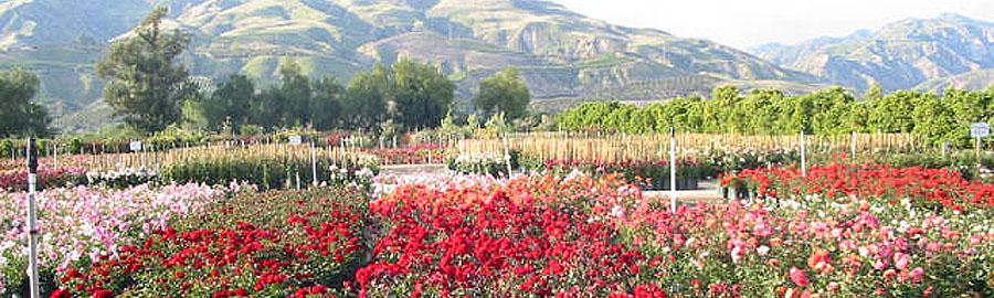 Roses_slide5.jpg