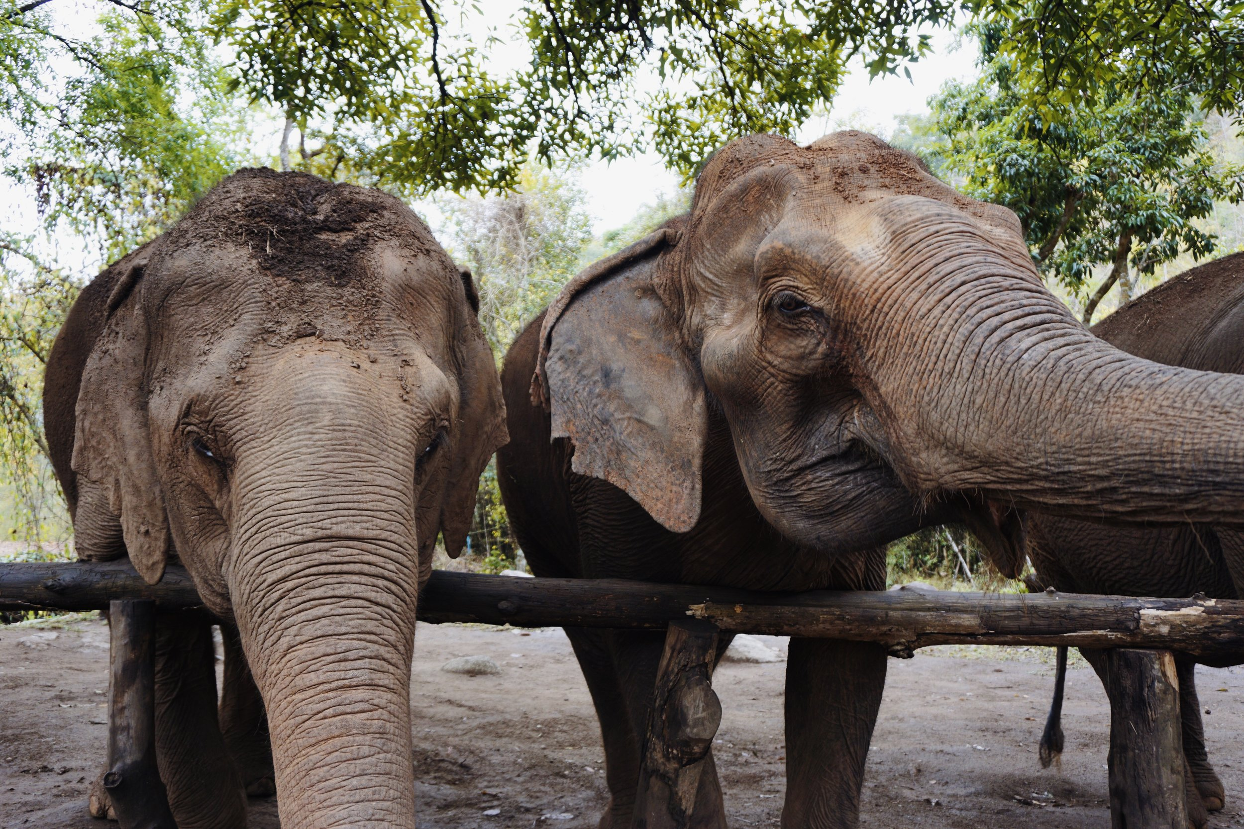 elephants-three