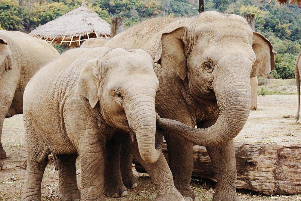 elephants-two
