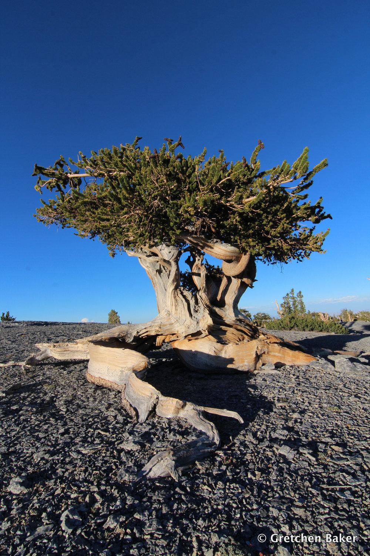 - Bristlecone Pines