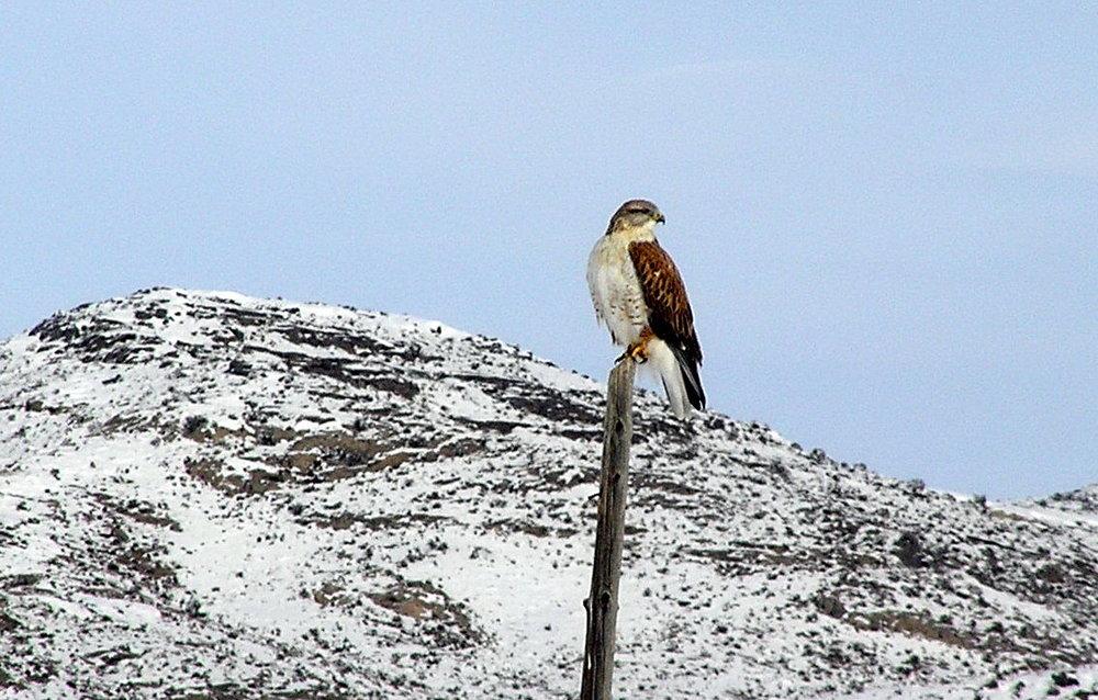 JBFree-Ferruginous Hawk.JPG