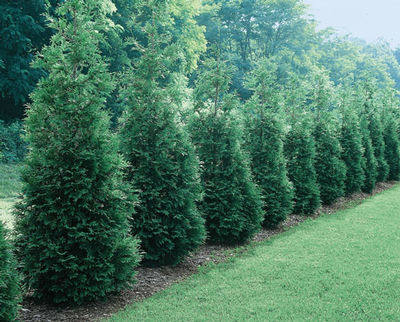 thuja-green-giant-plant-landscaping-tidal-creek-designs