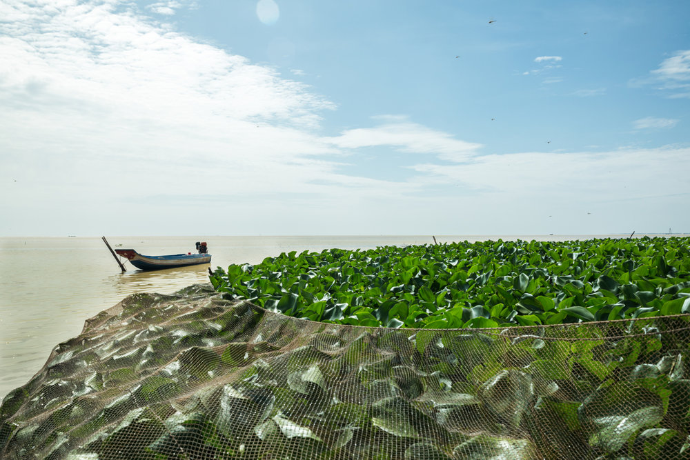May 26, 2016 - Kampong Loung, Cambodia. Fishermen encircle floating water hyacinth in an attempt to catch the fish that use it for shelter. © Nicolas Axelrod / Ruom