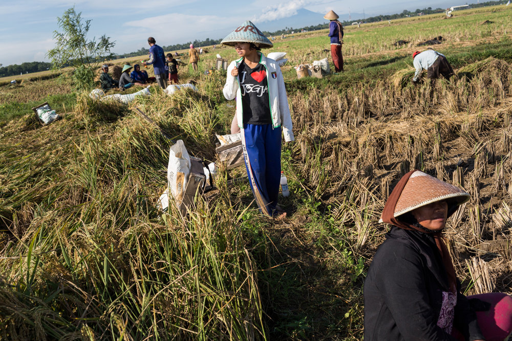 April 28, 2014 - Dadap, Indonesia. Anida who recently returned from working in Singapore as a domestic worker, works harvesting rice near her home. Dadap has a very high migration rate. © Nicolas Axelrod / Ruom