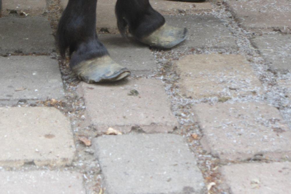 die Füße eines Shettys, die Schmerzen der Hufrehe waren unerträglich, den Besitzer kümmerte das wenig. Denn Pferde können können schreien oder jaulen.