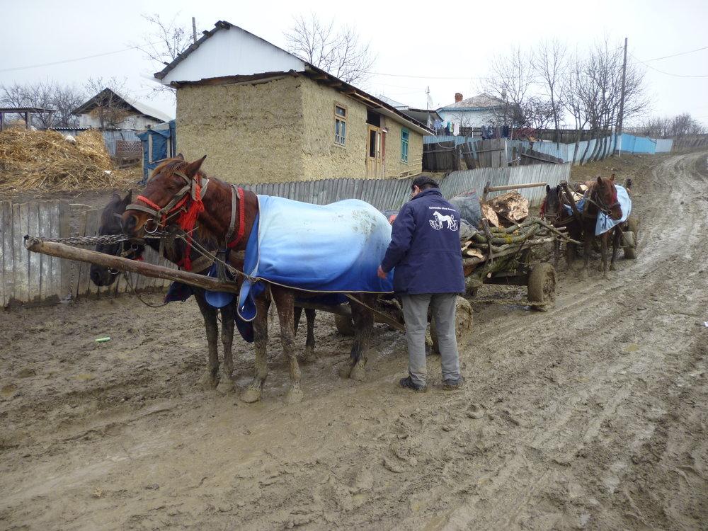 rumänische Arbeitspferde laufen täglich bis zu 100km über Schotter, Asphalt oder Feldwege.      ohne Hufschutz (Hufeisen) läuft bereits am ersten Tag das Blut aus den Füßen und ein qualvoller     Todeskampf beginnt. Hufeisen sind unerlässlich in Rumänien. Punkt.