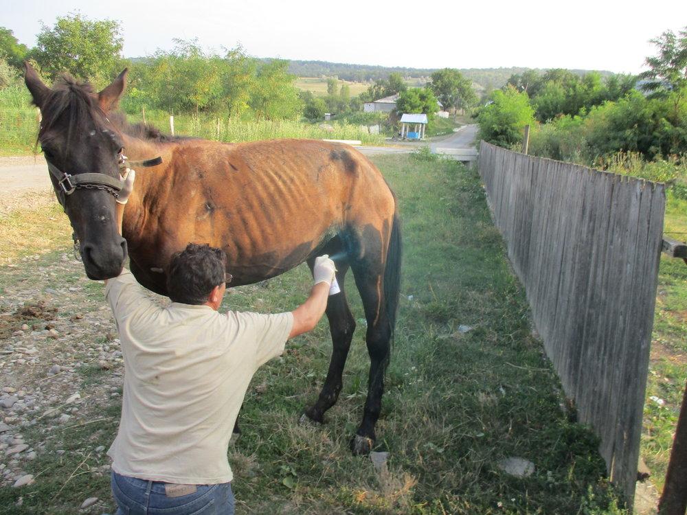Dr.Ursache behandelt ein Pferd welches von einem anderen Pferd getreten wurde. Was für einen Schaden die rumänischen Hufeisen anrichten können sehen sie auf dem  folgenden Bild.