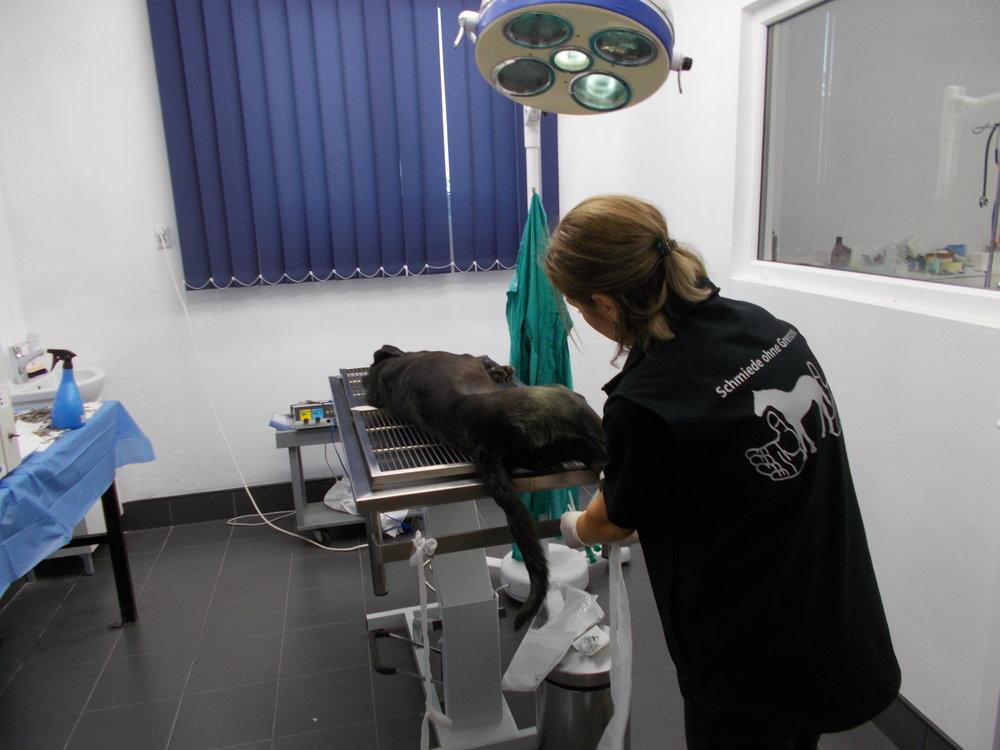 Frau Dr.Mirella kastriert täglich die Hunde der Landbevölkerung.