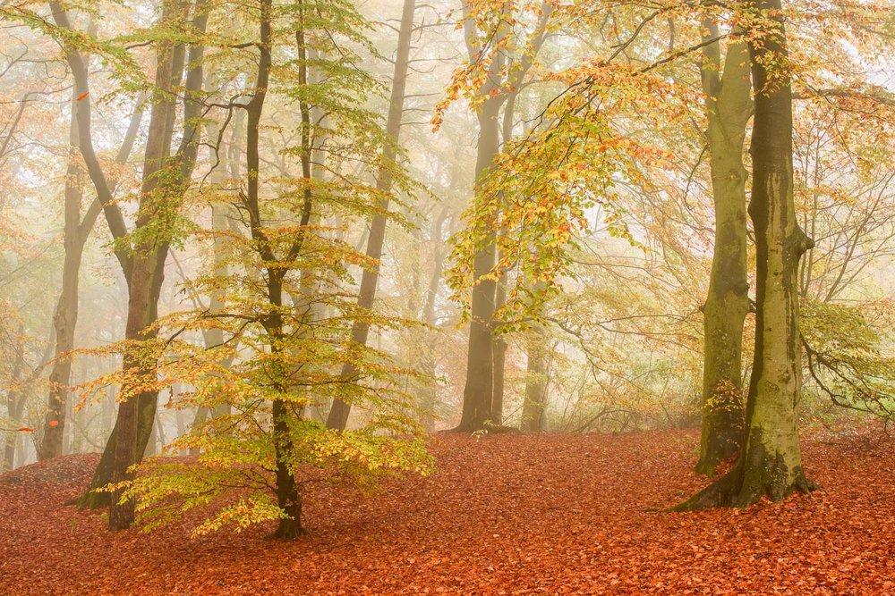 Autumn Beech Wood