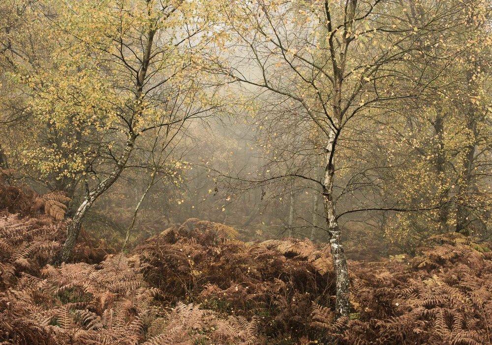 Autumnal Silver Birches