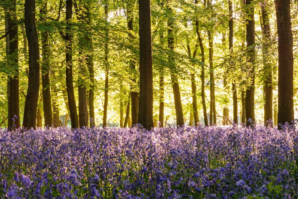 Backlit Bluebells and Beech Trees
