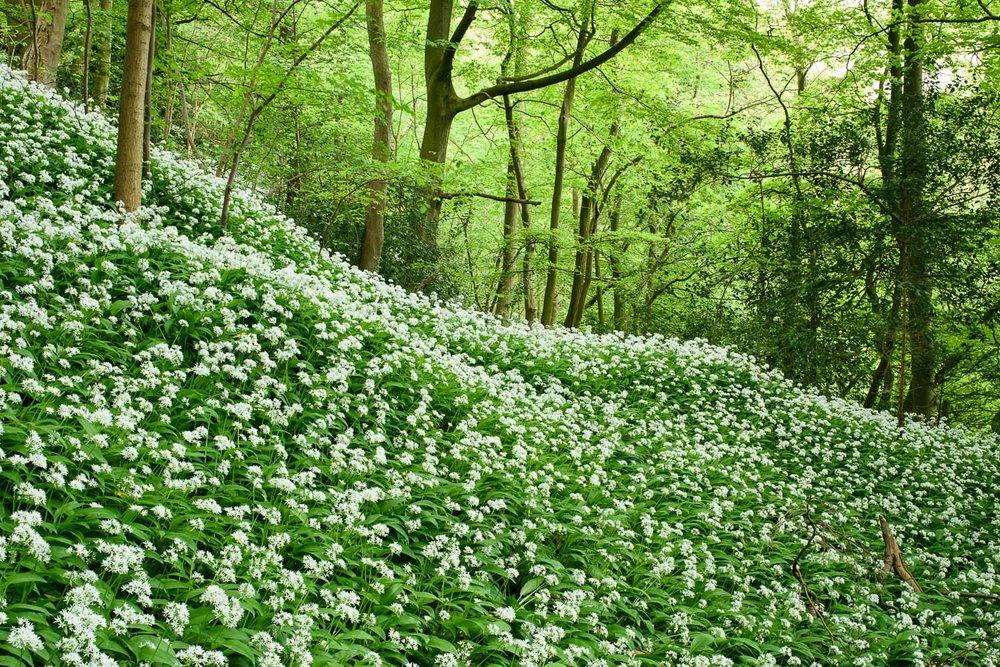 Wild Garlic in Spring Woodland