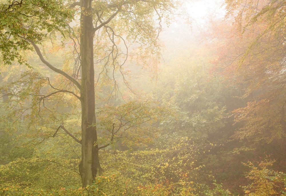 Autumn Trees in Mist