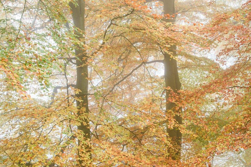 Autumn Beech Trees in Mist