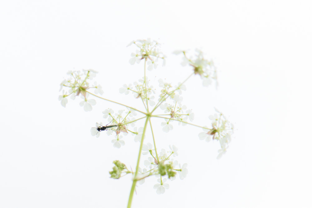 Insect on Cow Parsley