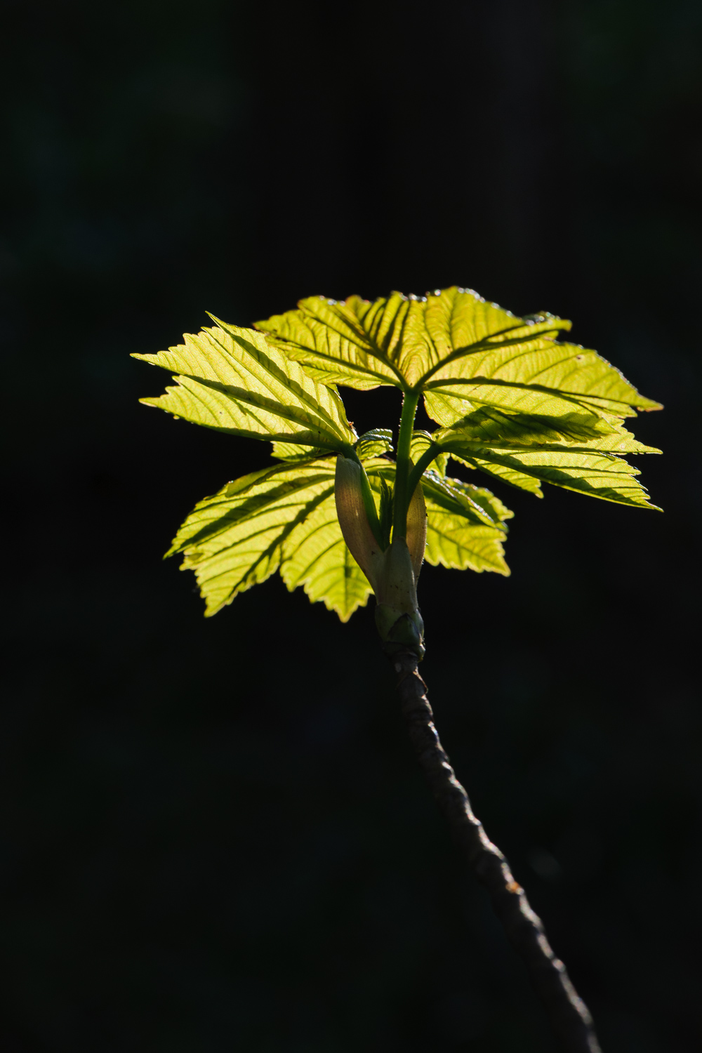 Backlit Syacamore Leaves