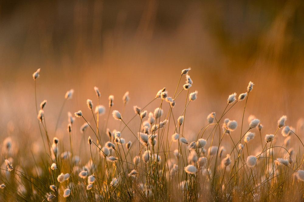 Cotton-Grass