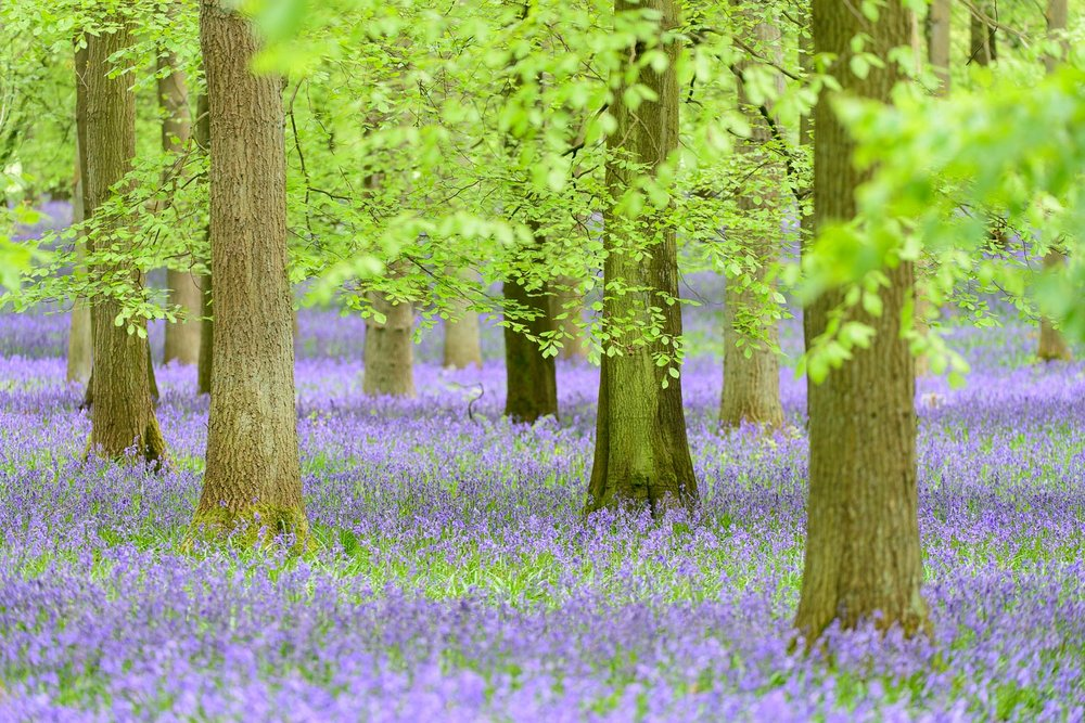 Bluebells in Beech Wood