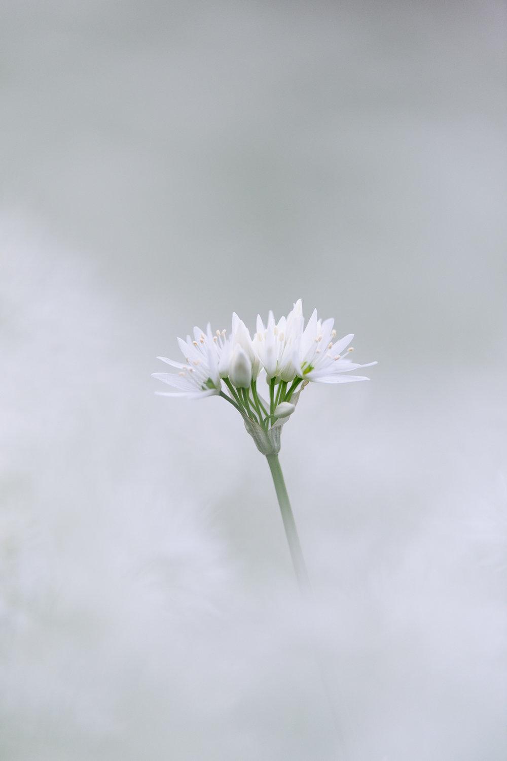 Wild Garlic - Ramsom