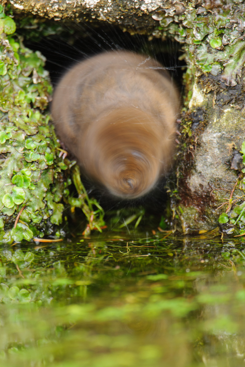 Water Vole in a Spin