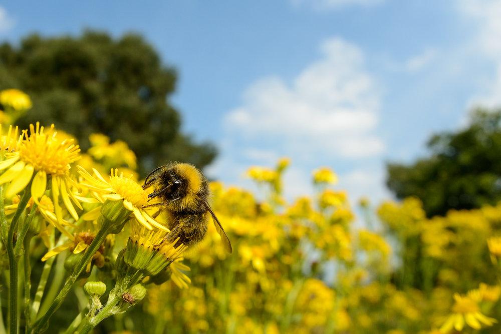 Bumblebee on Ragwort
