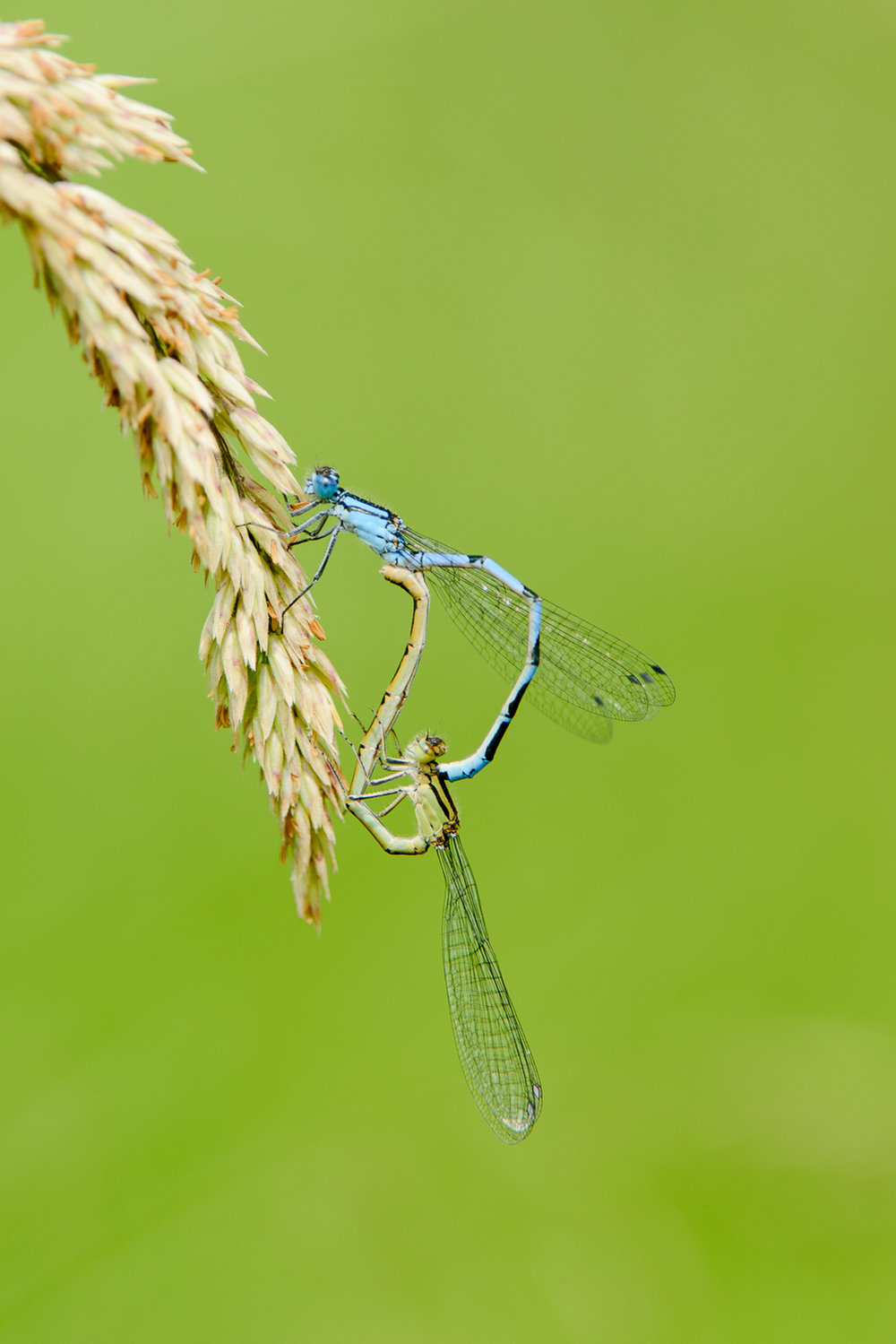 Common Blue Damselflies