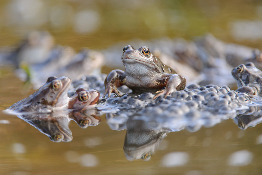 Common Frogs in Breeding Pool