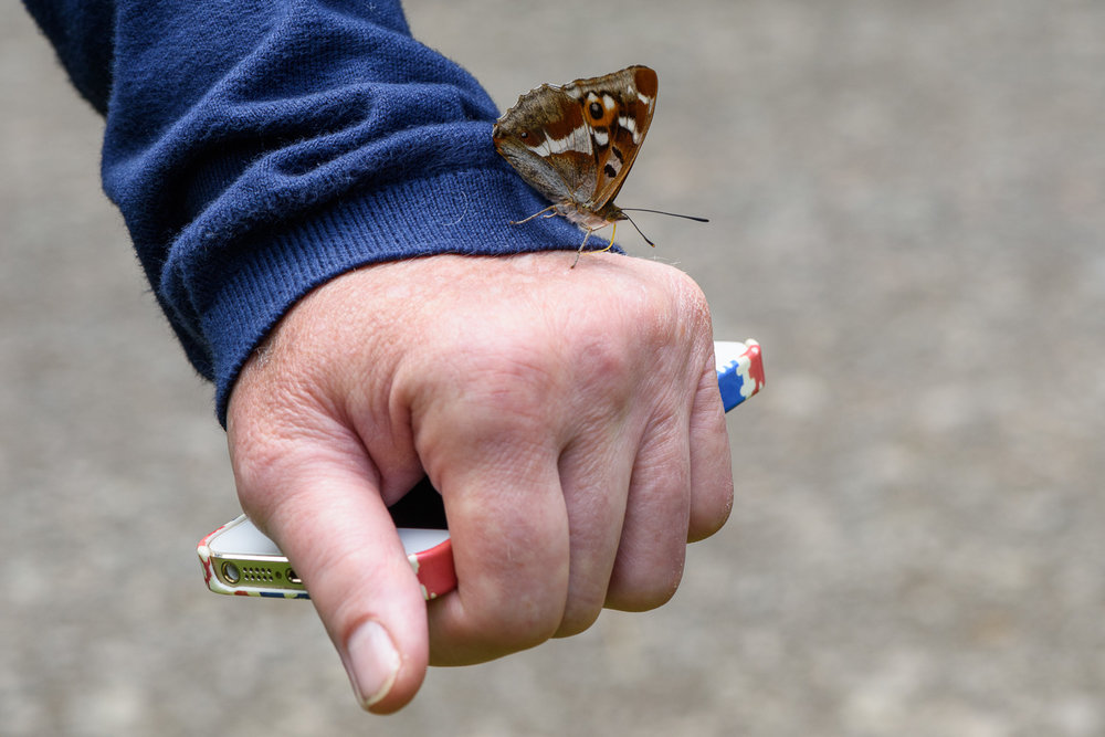 Purple Emperor Butterfly