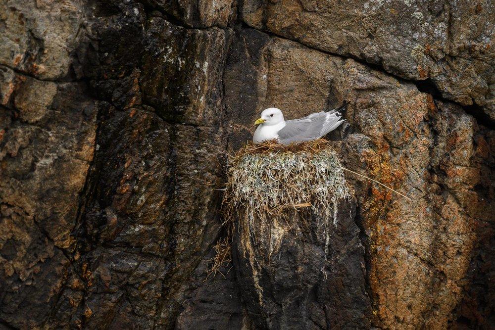 Nesting Kittiwake