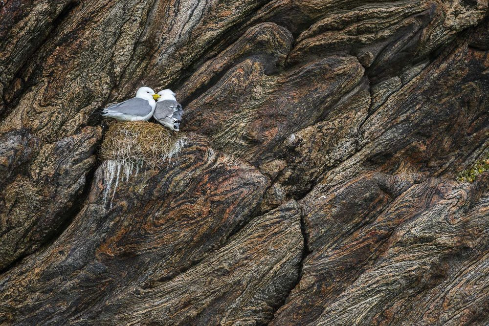 Kittiwakes Nesting on a Cliff
