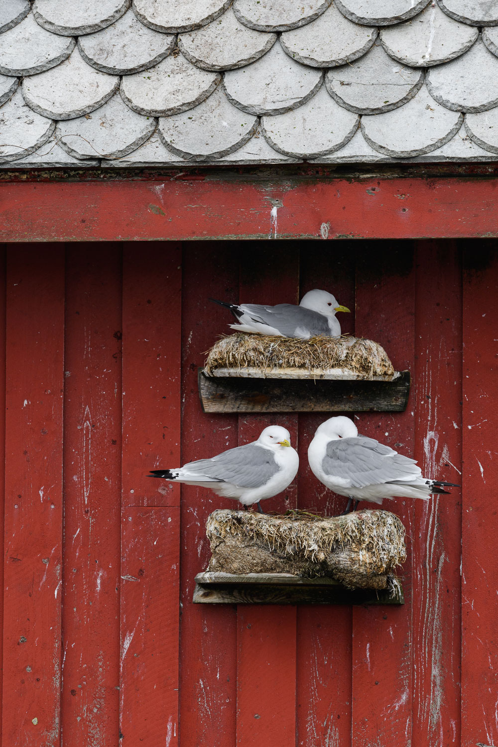 Kittiwakes Nesting on a Wooden Building