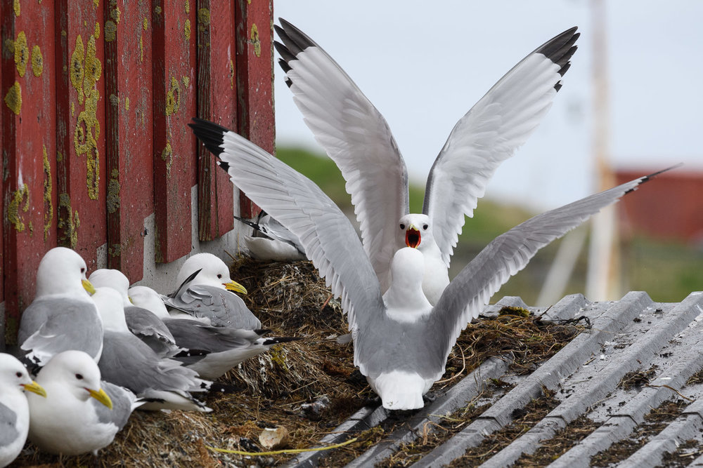 Displaying Kittiwakes