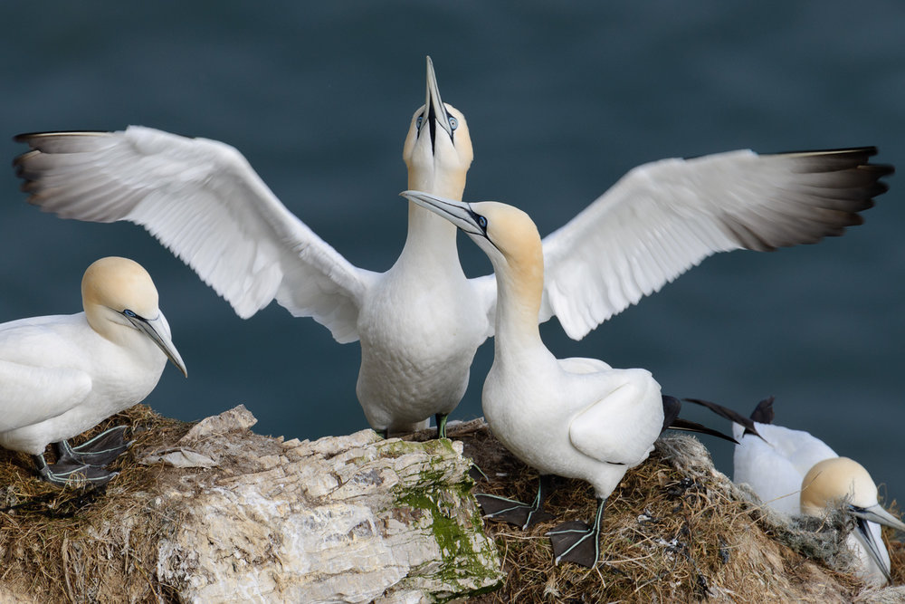 Displaying Northern Gannet