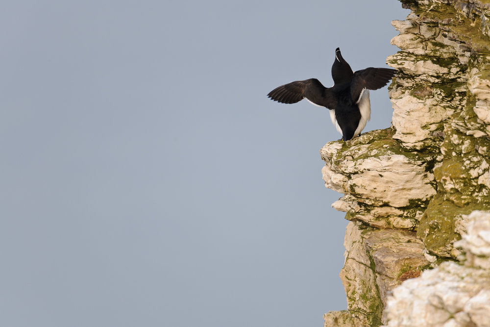 Razorbill Displaying on a Sea Cliff